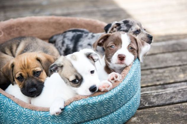 Majority of puppy listings are fake
