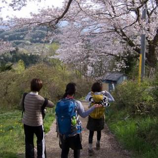 陣馬山一ノ尾根の桜