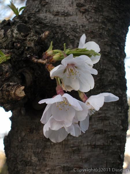 120404熊本・熊本城備前掘の桜1