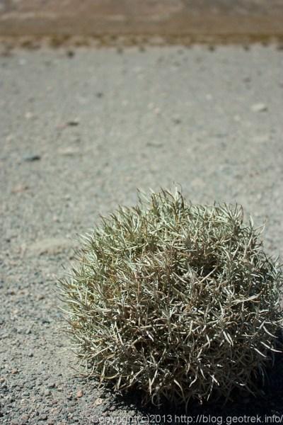 130904アタカマ砂漠、植物