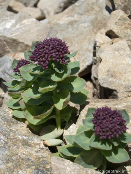 20130811仙丈岳の高山植物