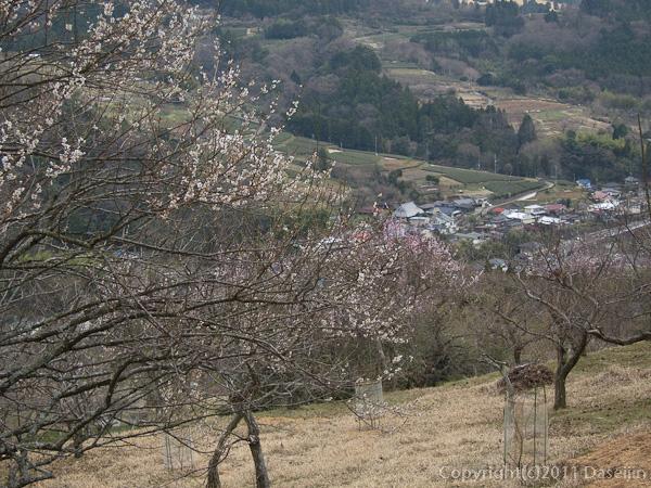 120407丹沢・梅の花と寄集落