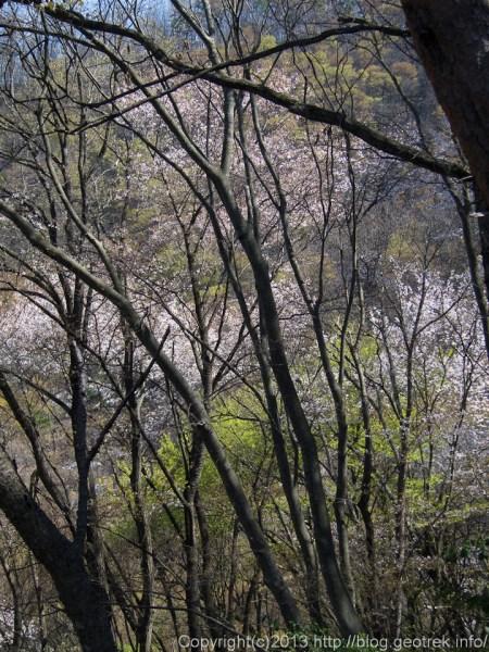 光城山の桜コース