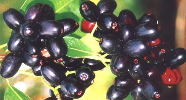 jamun benefits and side effects