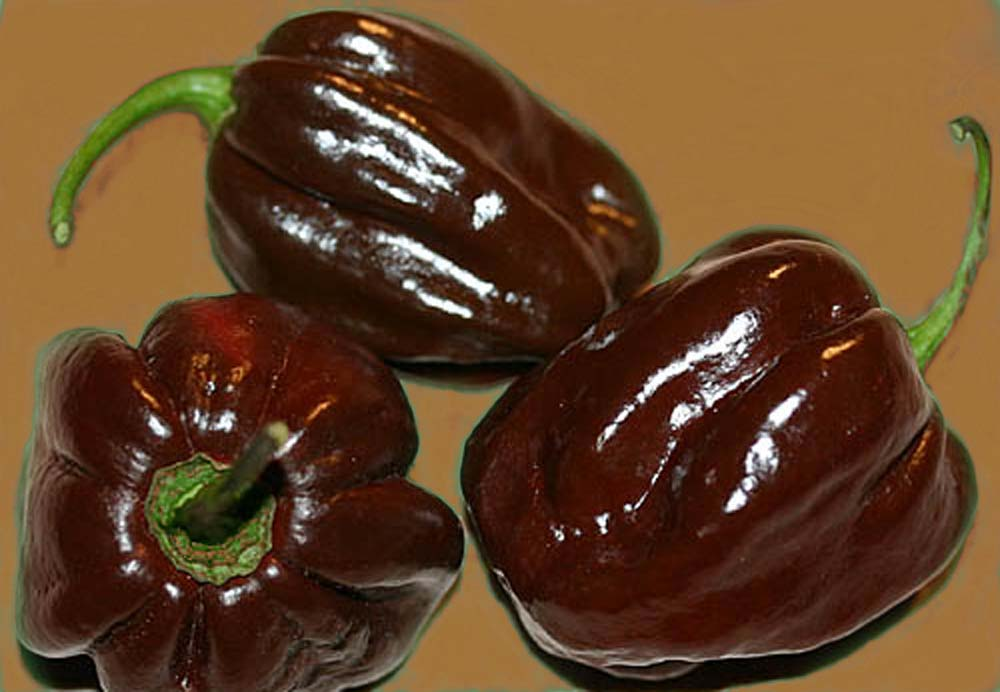 Habanero Chocolate (o Black Congo)