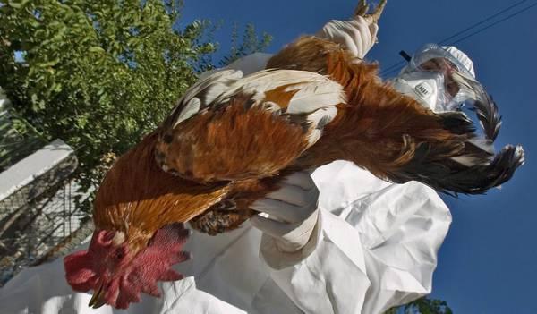 Aviaria: scoperti focolai in Olanda e Regno Unito