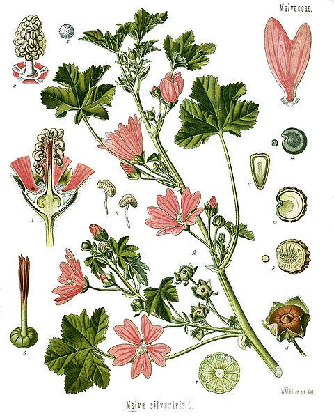 Malva_sylvestris_-_Köhler–s_Medizinal-Pflanzen-222