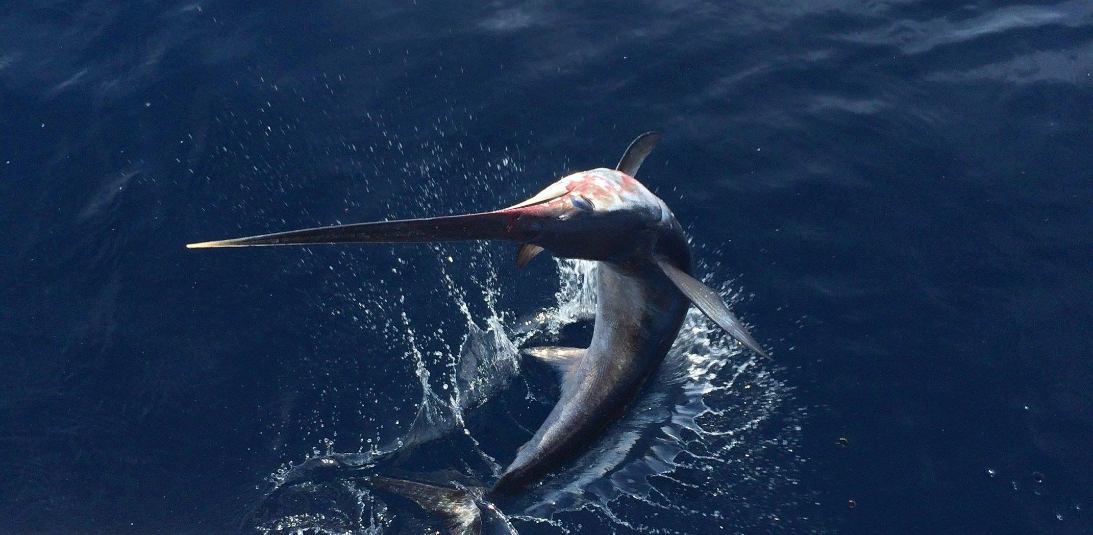 Per pesce spada ipotesi quote come per tonno rosso