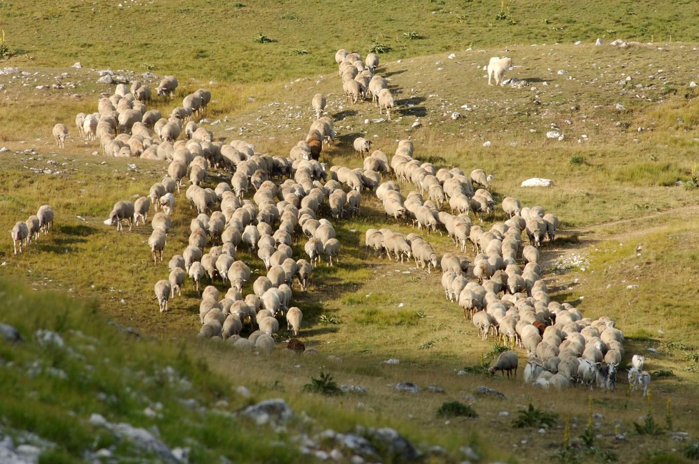 Allarme Fao, il 17% animali allevati rischia estinzione