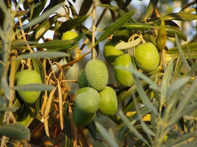 Cultivar di olivo