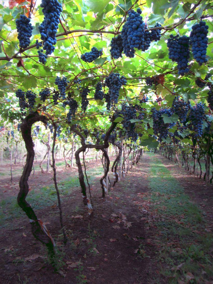 Scoperto Elmo, nuovo vitigno autoctono della Valpolicella