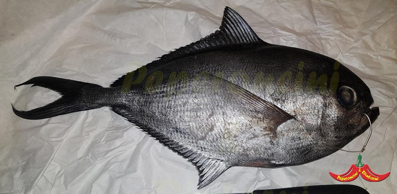 Il Pesce castagna, Brama brama