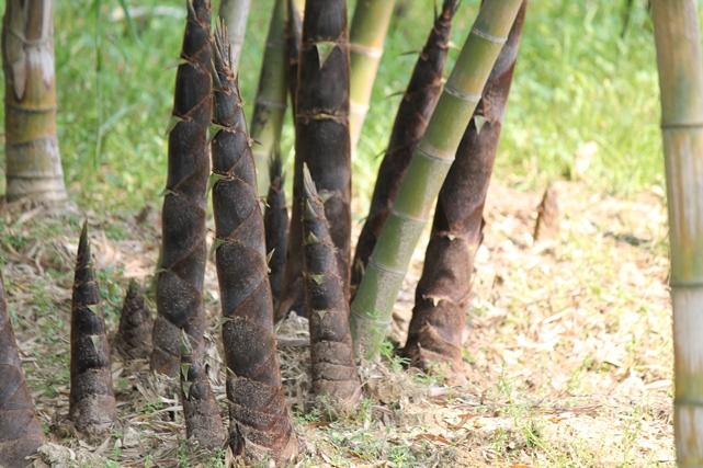 Germogli di Bambù Italiani