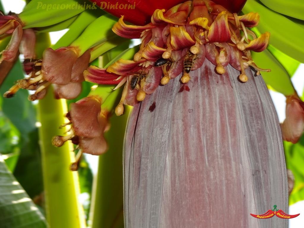 Fiori di Banano