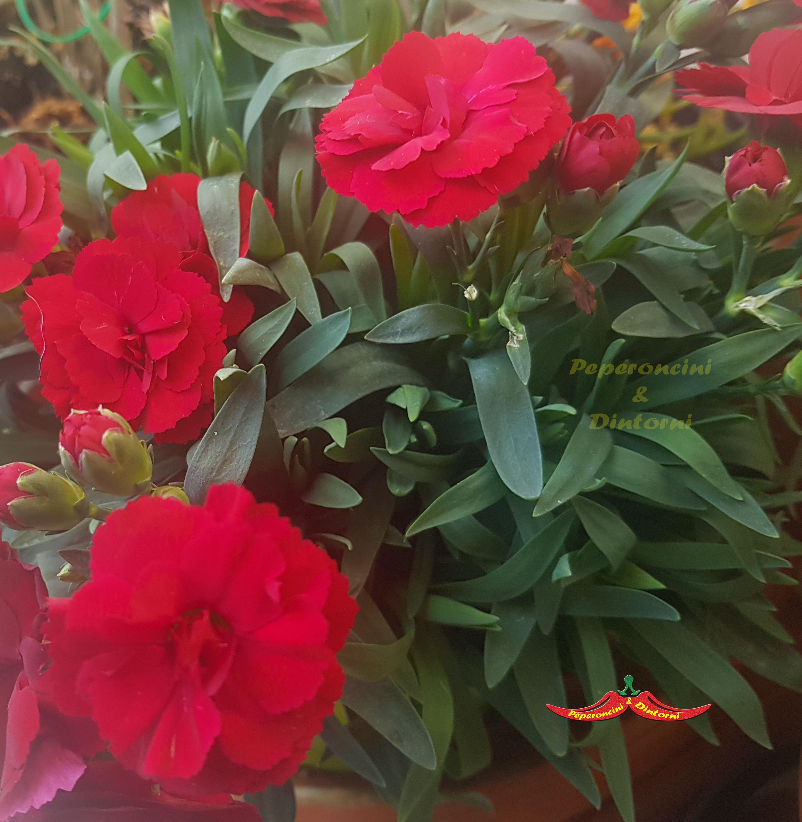 Garofano, Dianthus