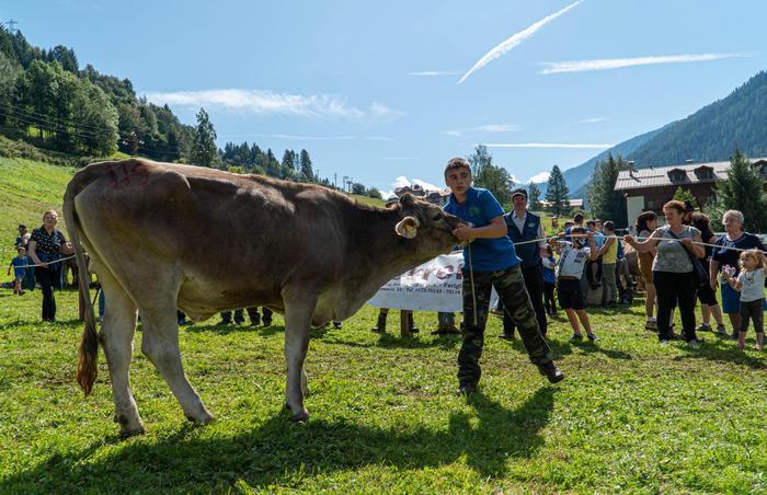 Anche le mucche hanno la loro Miss, concorso in Trentino