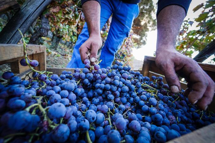 Vendemmia 2019: produzione -16%, ma l'Italia mantiene la leadership mondiale