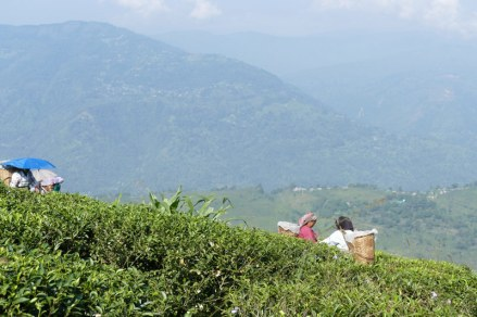 Teesammlerinnen in Darjeeling für Teekampagne