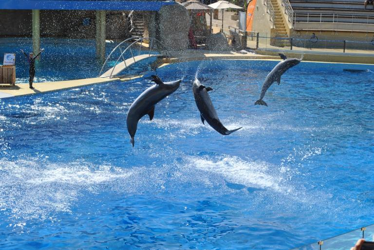 Three dolphins performing for tourists at an aquarium.