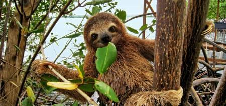 SlothBaby