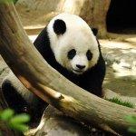 Giant Panda Bear in captivity