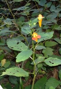 Jewelweed at Woodland Mound