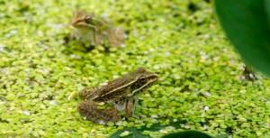 leopard frog_duckweed