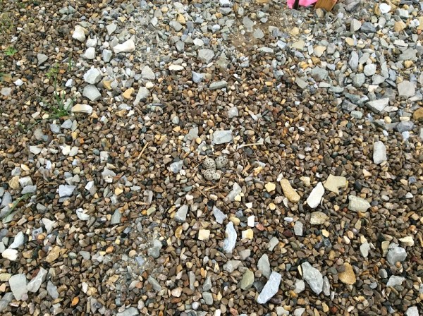 Can you spot the eggs in this killdeer nest in Miami Whitewater Forest?