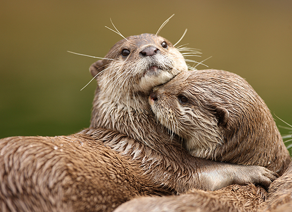 otters_stock