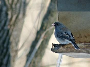 Dark-eyed junco on bird feeder