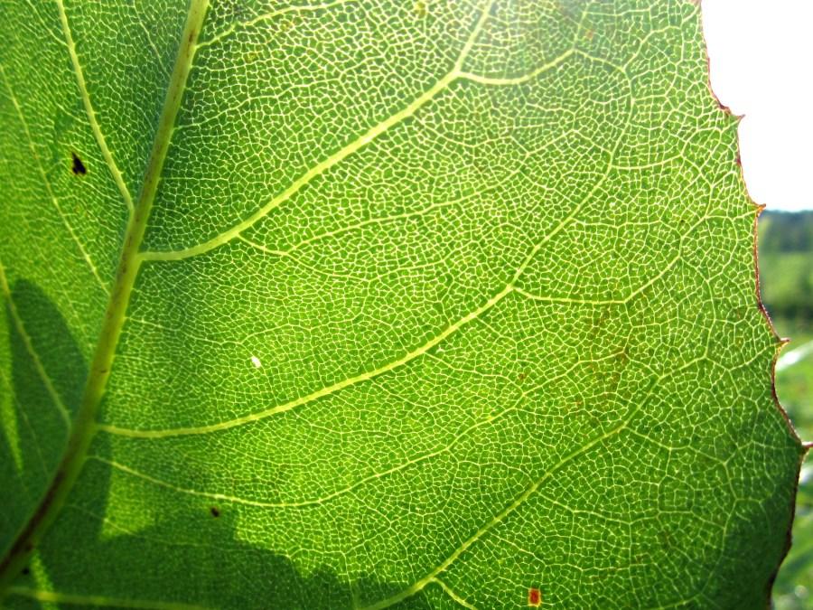 Leaf in the sunligh