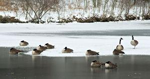 Geese on Sharon Lake