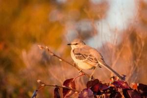 Mockingbird in fall