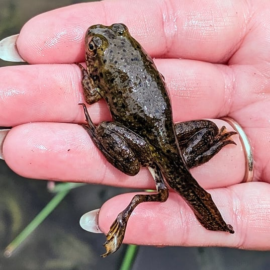 A pond frog (genus: Rana) was spotted at Glenwood Gardens earlier in 2019. A person grasps the frog in their hand. The frog isn't fully grown, but is sprouting an extra hind leg on its left side.