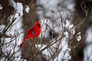 The bright red feathers of male northern cardinal contrast against the snow in Winton Woods.