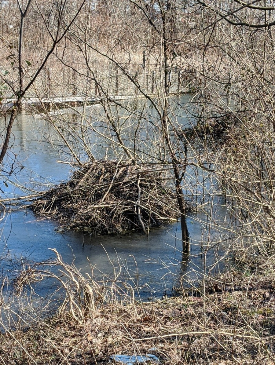 A beaver lodge, made of young trees and large sticks, sits in the water at Glenwood Gardens.