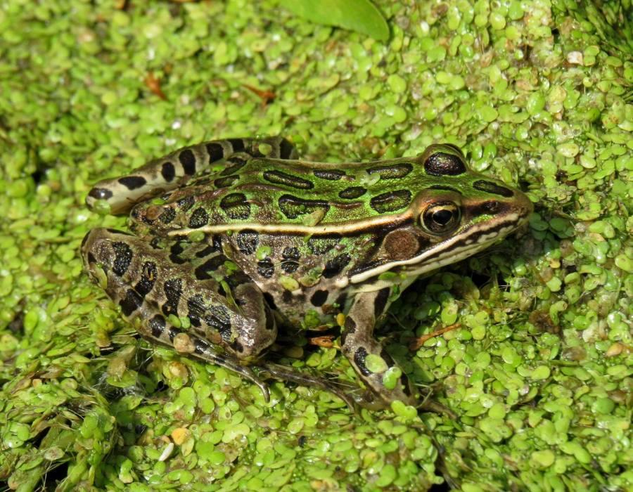Northern leopard frog (Lithobates pipiens or Rana pipiens)
