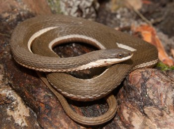 A queen snake is curled up on some rocks.