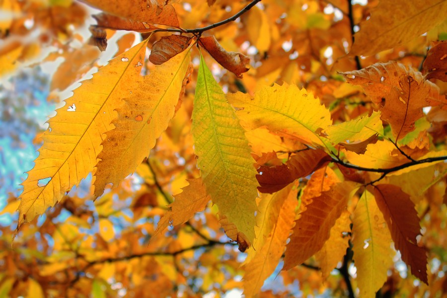 Leaves of the American chestnut
