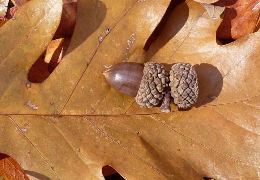 White oak acorn and leaf.