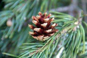 Pine cone on a Scotch pine tree