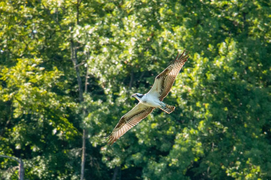 An osprey flies in the park on a sunny afternoon.