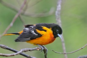 An orange and black male Baltimore oriole sits on a branch.