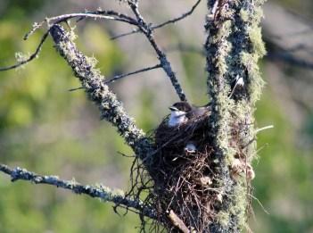 An eastern kingbird sits in its nest in a dead tree. It is sunny.