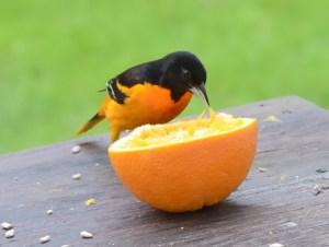An orange and black male Baltimore oriole gapes an orange.