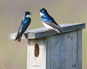 A matched pair of tree swallows sit on a nesting box.