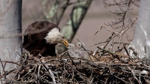 A mother eagle feeds her two chicks, sitting in their large nests.