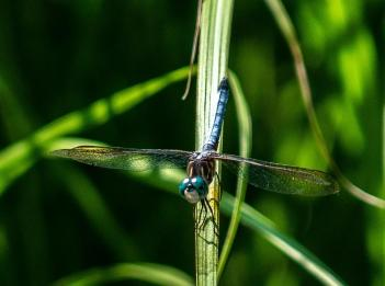 A blue dragonfly sits atop a blade of grass.