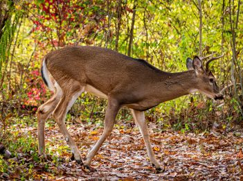 A deer treks the leaf-covered trail at Sharon Woods.
