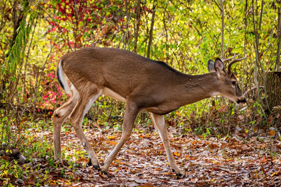A deer treks the leaf-covered trail at Sharon Woods during a fall afternoon.